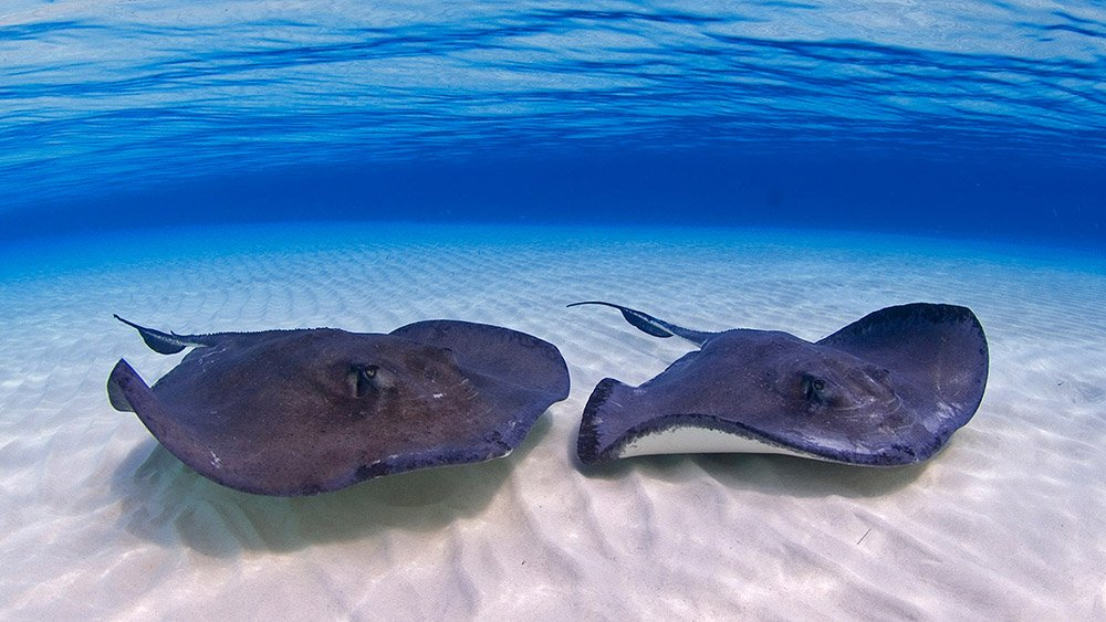 stingray city cayman, six-sense-eco-tours